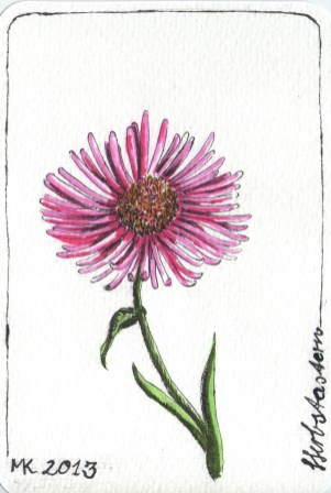 Herbstaster - wild chrysanthemum