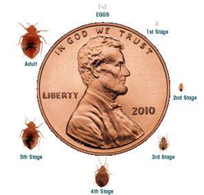 lifecycle bed bug - san jose pest control