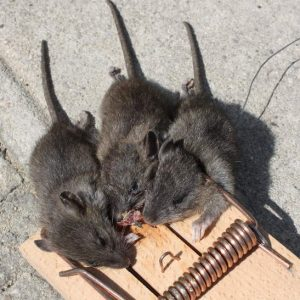 three blind mice in trap
