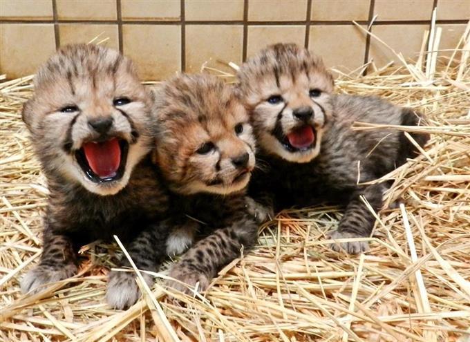 チーターの赤ちゃん3頭誕生 多摩動物公園 - サッと見ニュース ...