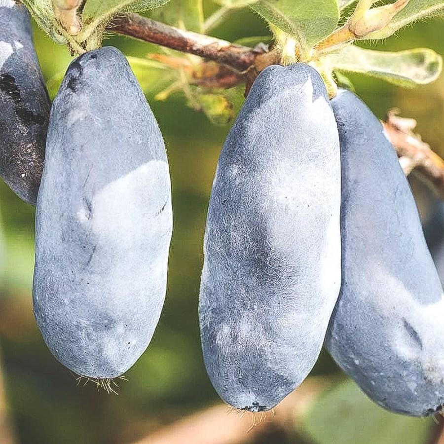 Närbild på mogna Blue-Rock blåbärstry på buske
