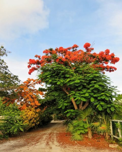 Gorgeous Flamboyant Tree South Ambergris Caye San Pedro Belize