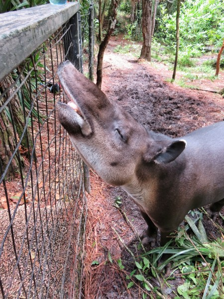 Beautiful female tapir at the Belize Zoo