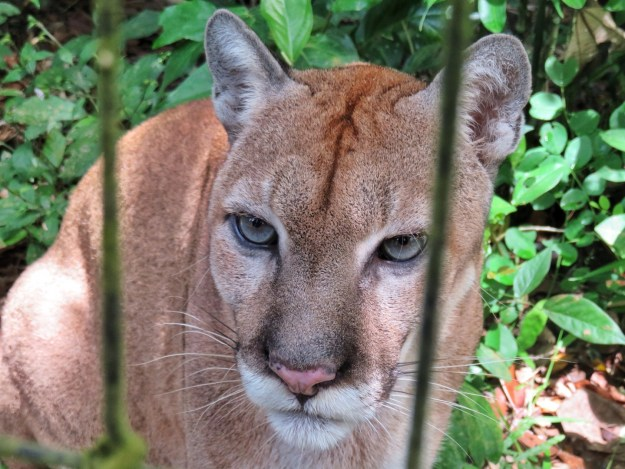 Puma at the Belize Zoo