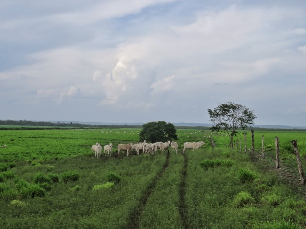 Cow pasture in Blue Creek Belize