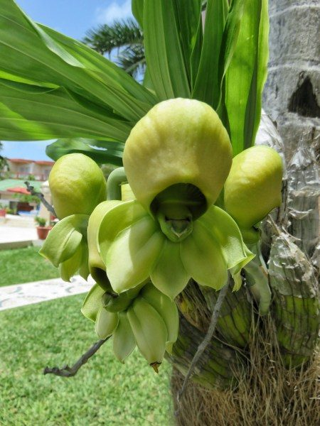 Amazing Green Orchid at Grand Colony