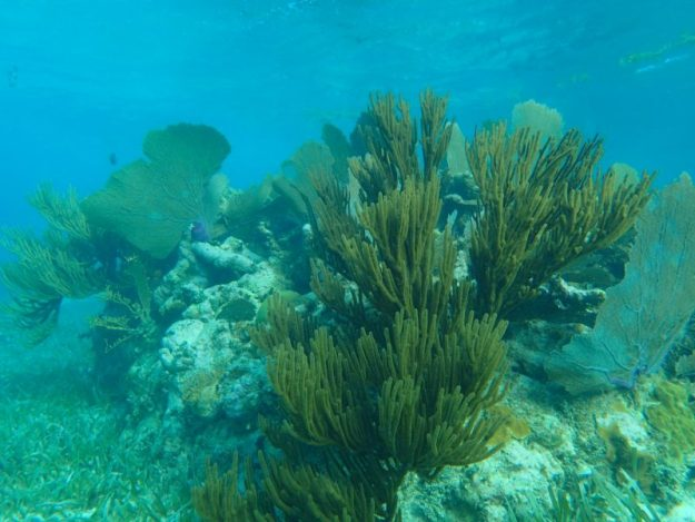 Coral Ambergris Caye, Belize
