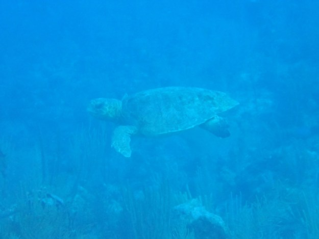 Sea Turtle, Ambergris Caye, Belize