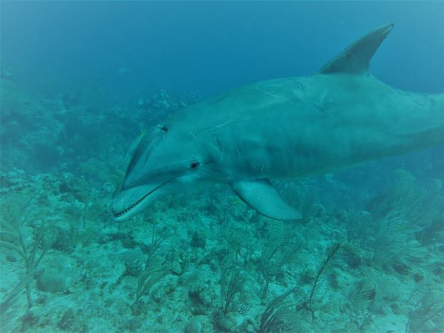 Gorgeous Dolphin Diving San Pedro Belize
