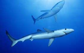 Pondicherry-shark