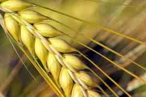 barley barley Ashtanga hridyam, list of grains, chapter-6