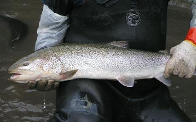 幻の魚イトウ、「食べに来て」とアピール 青森・鰺ケ沢で大規模養殖(2)