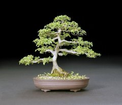 Chinese Elm - Joe Olson