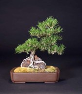 Japanese Black Pine - Susanne Barrymore