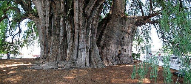 Giant Montezuma Cypress near Oaxaca, Mexico