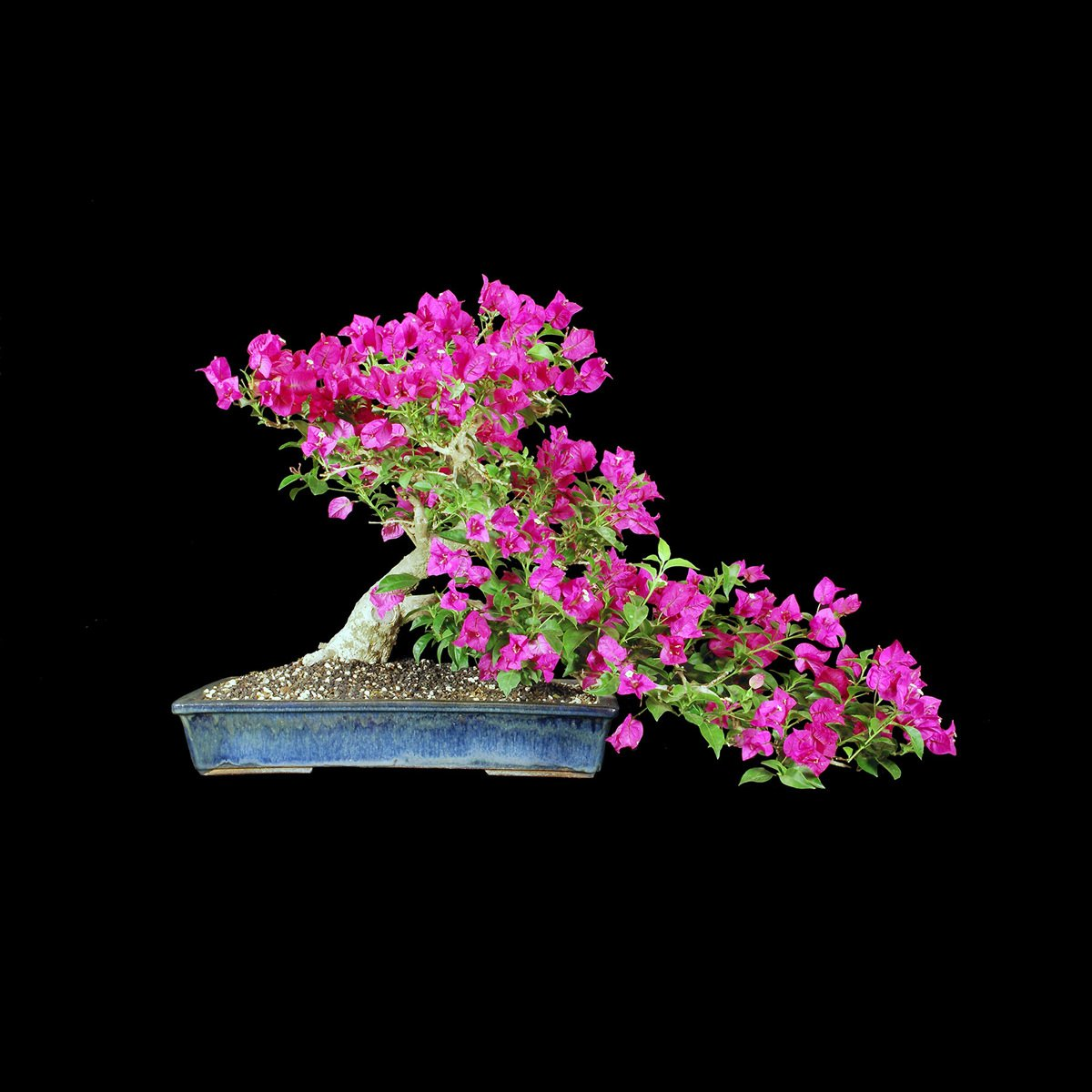 You are currently viewing 2014 Bonsai Show