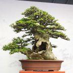 hollowed trunk bonsai