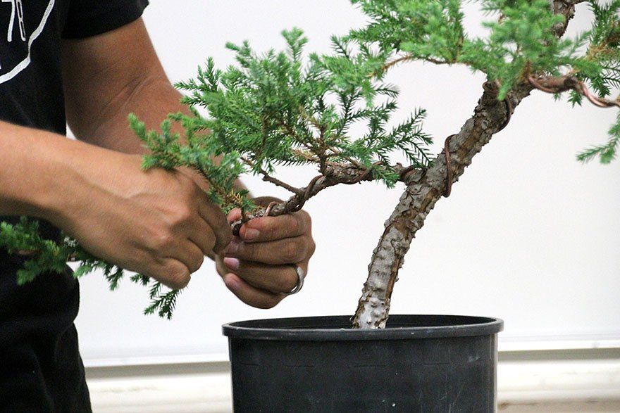 Superb October 2017 Bob Pressler Show Tree Part Two Bonsai Club Of Wiring Cloud Oideiuggs Outletorg