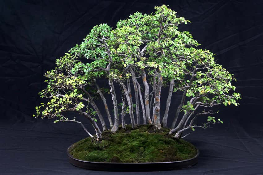 You are currently viewing 2018 Bonsai Show