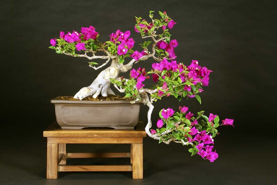 You are currently viewing 2017 Bonsai Show
