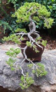 Cascading style juniper