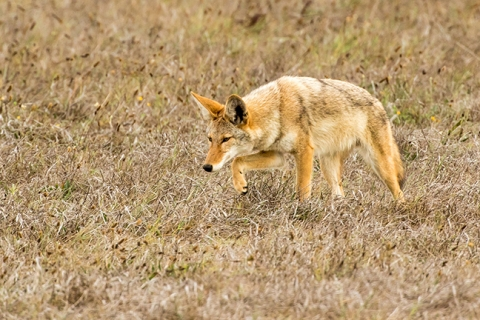 Coyote Central Coast Coyotes have a long and colorful local history which still thrives today