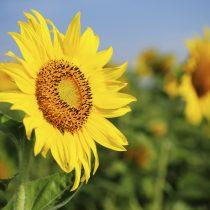 sunflowers_medium[1]