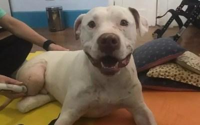Cão Sansão é internado após parar de comer, ficar fraco e desidratado