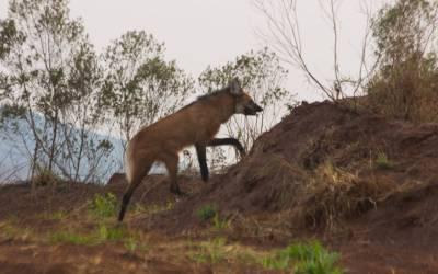 Lobo-guará é localizado em Itatiaiuçu e recebe colar com GPS