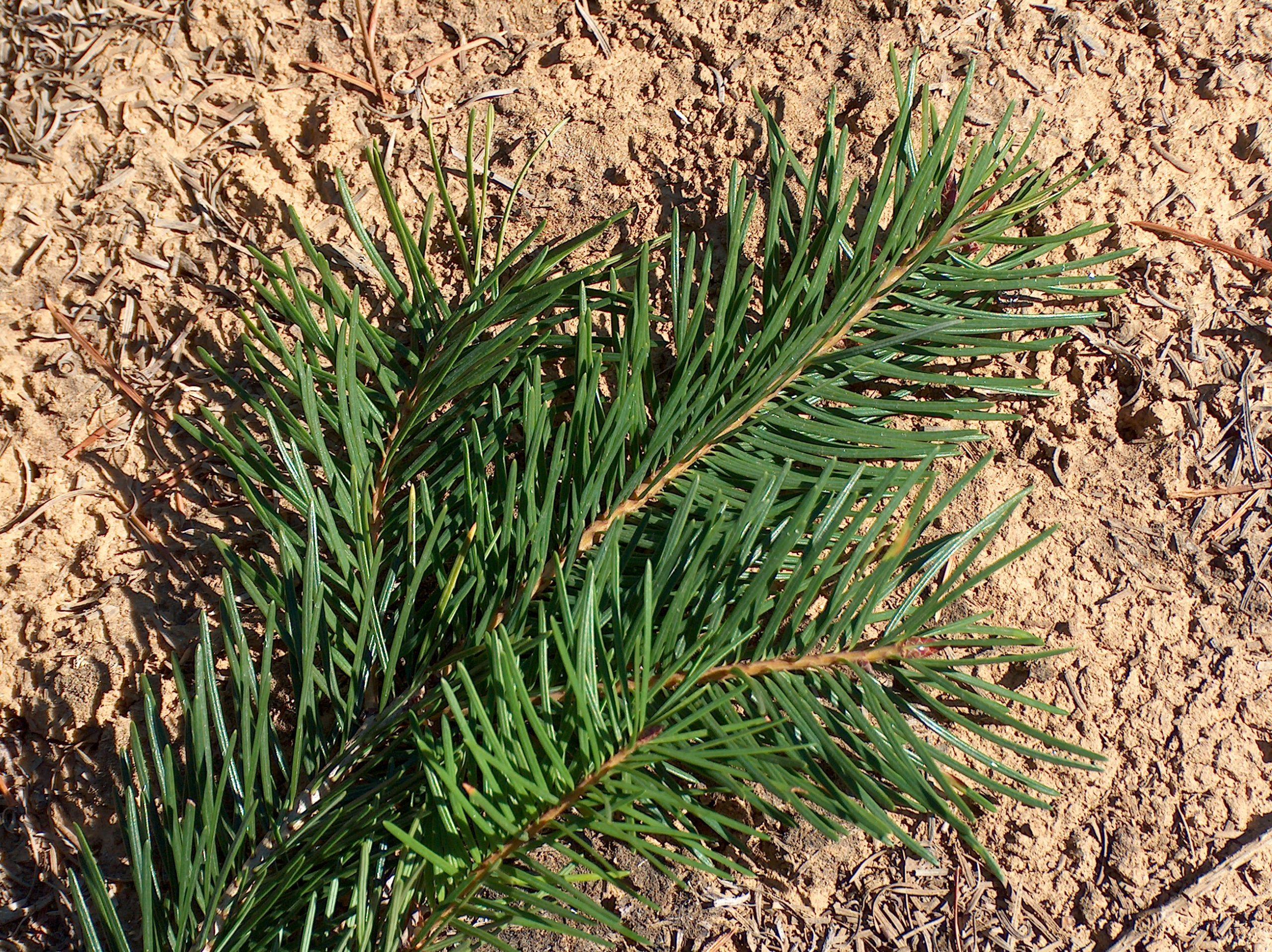 Douglas Fir Christmas Tree Close up