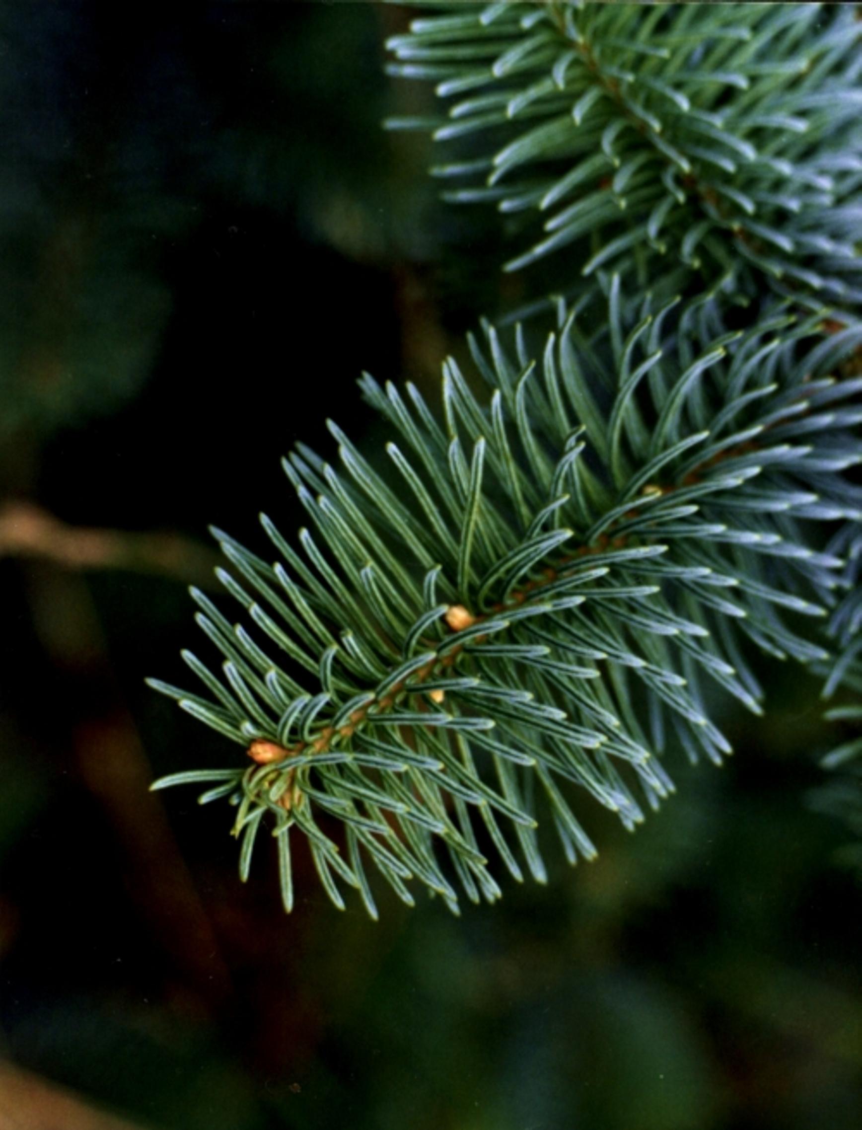 Noble Fir Christmas Tree Close Up