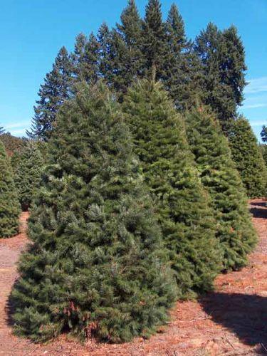 Douglas Fir Christmas Trees in Field