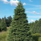 Extra Tall Noble Fir Christmas Tree in Field