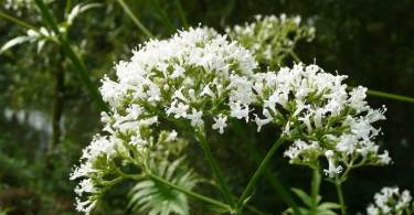 valeriana-officinalis-848738_1280