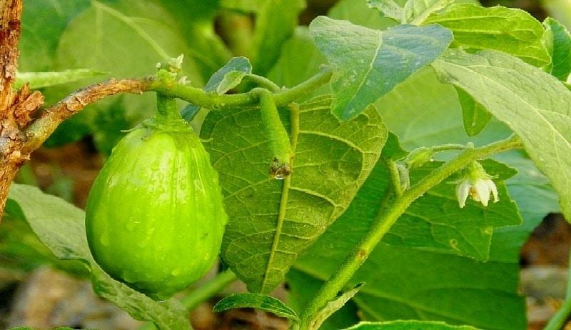 Valeur Nutritive et Avantages pour la santé des feuilles d'Aubergine