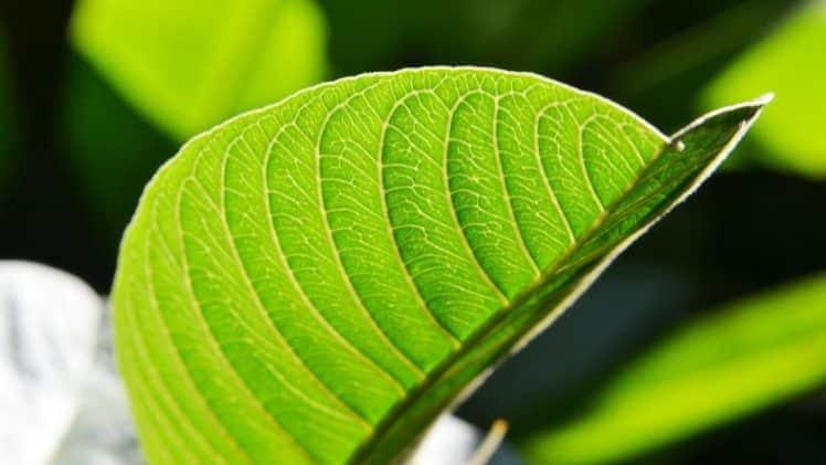 16 avantages pour la santé des feuilles de goyave que vous ne saviez pas