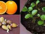 Avantages des graines d'orange pour la santé que vous ne connaissiez pas