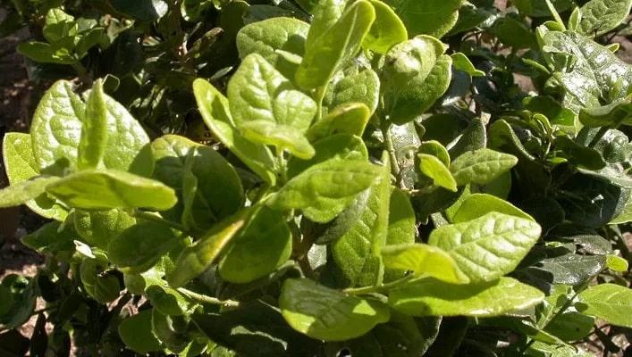 9 bienfaits pour la santé des feuilles de boldo