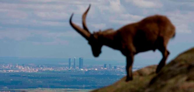 7-5-2011 La Pedriza. Cabras. foto: santi burgos