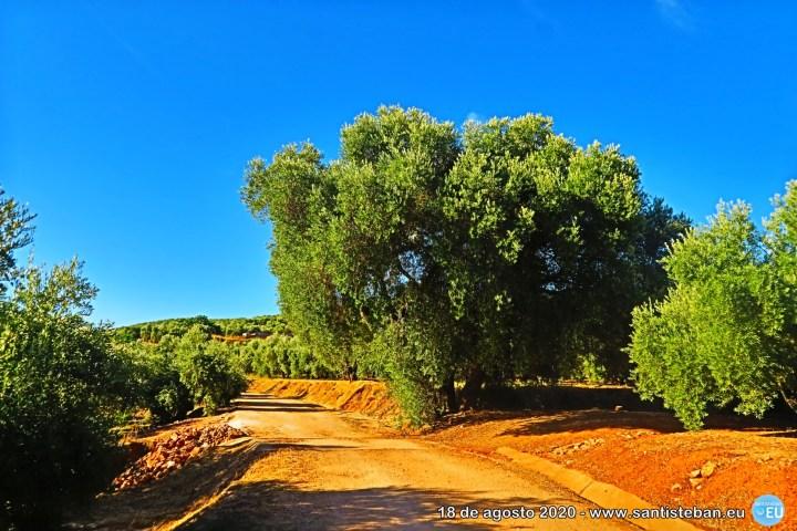 La oliva grande del camino
