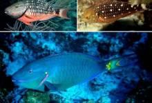 Photo of Confirman prohibición de captura y comercialización del pez loro en República Dominicana