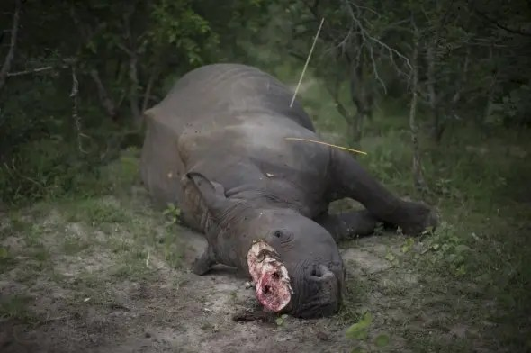 Rhino Poaching in South Africa