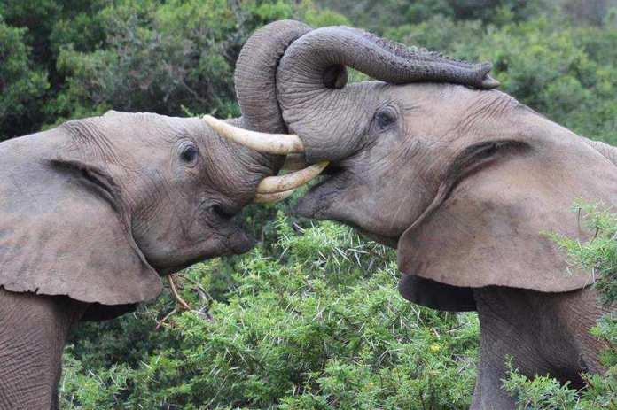 kariega-elephant-wrestling-Sneddon
