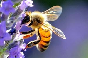 Un'ape durante la bottinatura Giornata mondiale delle api