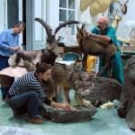 preparazione di una esposizione al Museo zoologico di Roma
