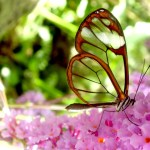 Una farfalla ali di vetro, un lepidottero diffuso in America Centrale