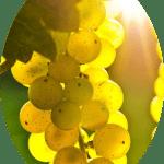 Uva Moscato