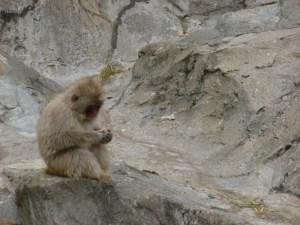 Japanse makaak