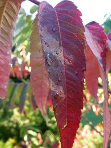 P1050378 raindrop on red leaf smaller