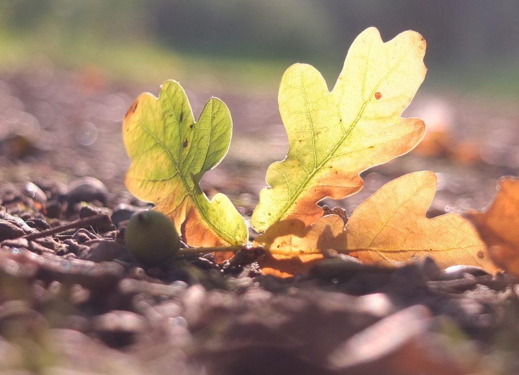 grasmere autumn acorn smaller